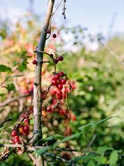 Berries (--Kei--) Tags: mamiya mamiyasekor 645 645af 645afd 6x45 mediumformat film 120film wales cardiff caerdydd cymru 55mm 55mmf28 mamiya55mmf28 f28