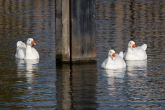 untitled (robwiddowson) Tags: goose geese bird birds nature nautral animal animals water natural wildlife reflections reflection robertwiddowson photo phtograph photography image picture