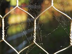 chicken wire and webs (Hayseed52) Tags: chicken wire chickenwire sunlight spider spiderweb dewdrops dew strength