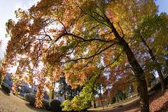 Taiwanese Maple (nak.viognier) Tags: taiwanesemaple senrikitapark osaka 千里北公園 タイワンフー olympusepl3 lumixgfisheye8mmf35