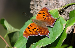Question Mark (Polygonia interrogationis) (scott_clark) Tags: butterfly insect nature wildlife animal outdoors fall autumn orange questionmark polygoniainterrogationis tamron150600mm slta77