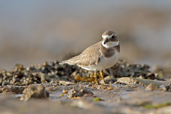 Ringed Plover (Somerset Chris) Tags: ringedplover plover wader birds canon