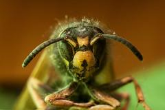 Wasp (andsem) Tags: wasp insect insectface invertebrate macro closeup nature animals antennas yellow