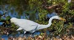 Oct 22 201620429 (Lake Worth) Tags: animal animals bird birds birdwatcher everglades southflorida feathers florida nature outdoor outdoors waterbirds wetlands wildlife wings canoneos1dxmarkii canonef500mmf4lisiiusm