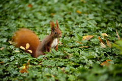 (E.Hunt.) Tags: red squirrel denmark danmark kbenhavn copenhagen leaves scamp tufty fluffy auburn creature forest woodland rodent autumn cute