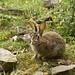 Kilnsey Bunny