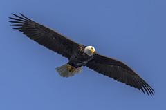 Bald Eagle (Paul Rioux) Tags: outdoor nature avian baldeagle eagle birdinflight inflight prioux predator raptor hunting westcoast westshore seashore