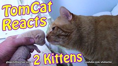 Tom Cat Reacts to Kittens (youtube.com/utahactor) Tags: tom ginger gato kittens newborn yellow orange red mackerel tabby tabbies fur furbaby furbabies friendsofzeusandphoebe gingerkittiesfour website blog videos hd 1080p 4k canon sony four kitties kitty lovemeow cute adorable precious darling pink nose whiskers eyes youtube subscribe thumbsup facebook like follow fan viral cat cats feline animals