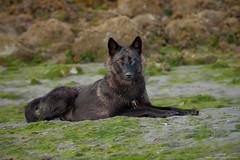 Sea Wolf (www.jessfindlay.com) Tags: wolf coastalwolf seawolf blackwolf wwwjessfindlaycom jessfindlay jessfindlayphotography vancouverisland westcoast canine britishcolumbia canada canadianwildlife wildlife wilderness wildlifephotography