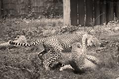 Playing chheats (Cloudtail the Snow Leopard) Tags: gepard zoo landau tier animal mammal sugetier katze cat feline big gros raub cheetah acinonyx jubatus play playing spielen