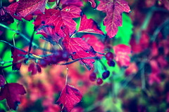 Herbst (Smo42) Tags: blatt laub beeren ste natur sonya58 sal1650