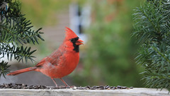 Bold (Note-ables by Lynn) Tags: cardinals red birds nature animals handganimalsonly