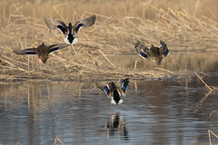 Mallard Ducks at the John Heinz Federal Wildlife Refuge on 12-4-2016-15 (Scott Alan McClurg) Tags: aplatyrhynchos anas anatidae anseriformes birds flickr autumn bird blue clouds duck fall flight fly flying johnheinzfederalwildlifereserve life mallard migrate nature park pond preserve refuge sky suburban suburbs urban water waterfowl wetlands wild wildlife