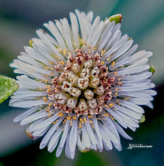 White Queen (haidarism (Ahmed Alhaidari)) Tags: white queen nature macro macrophotography flower plant outdoor ngc sonya65 depthoffield bokeh madina almadina saudiarabia albaydha park