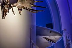 Selachimorpha (pni) Tags: fish shark skull taxidermy museum thefinnishmuseumofnaturalhistory luonnontieteellinenkeskusmuseo museo naturhistoriskacentralmuseet luomus helsinki helsingfors finland suomi pekkanikrus skrubu pni