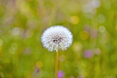 (Anna Kwa) Tags: dandelion wild meadows onearth inheaven bokeh nature annakwa nikon d750 afsnikkor24120mmf4gedvr my  miss always faraway remembrance seeing heart soul throughmylens memories somewhere travel world fate life round wish thatswhereiwannabe