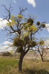 Murdago. (www.rojoverdeyazul.es) Tags: gaarul aragn espaa autor lvaro bueno rbol murdago ramas mistletoe zona rural rstico antiguo rustic ancient
