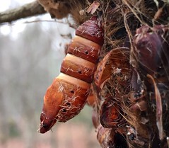 #Chrysanlis #larvae #egg #shell #moths #empty #insect #insects #bugs #butterflies #hanging #trees #tree #moss #wilderness #wildlife #woods #forest #Mike #Liebler (mikeliebler222) Tags: growing living nature bug beautiful brilliant woodland newengland connecticut changing change changed becoming chrysanlis larvae egg shell moths empty insect insects bugs butterflies hanging trees tree moss wilderness wildlife woods forest mike liebler
