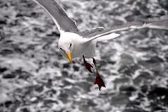 Lost Seagull (cristian_jordache) Tags: ocean lost seagull bird oceanic water cold harsh seattle harbor