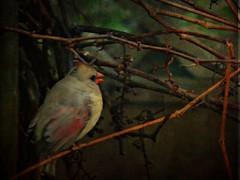 On The Vine (sharis snaps) Tags: cardinal female textures solstock jerryjones grapevine november