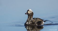 On still water- Long-tailed duck showing off (Chantal Jacques Photography) Tags: longtailedduck barrow alaskanwildlife wildandfree wild bokeh depthoffield stillwater onstillwater showingoff