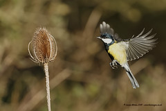 Great Tit (Louise Morris (looloobey)) Tags: parusmajor aq7i2632 greattit teasel flight hover firsttry chase nigel david