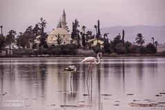 Salt Lake (iosif.michael) Tags: sony a55 saltlake larnaca cyprus flamingo landscape
