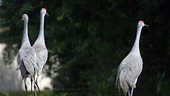 Sandhill Cranes Walk This Way (AngelaC2009***) Tags: 2016 october autumn fall riverview florida birds sandhillcranes sandhillcranefamily backyardwildlife canondigitaleosrebelxt