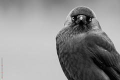 Jackdaw (Andrew Bloomfield Photography) Tags: andrewbloomfieldphotography location photograph uk wildlife wwwandrewbloomfieldphotographycouk jackdaw