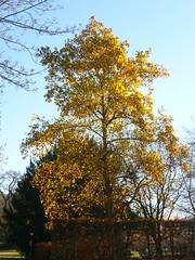 Tulpenbaum - Herbst (Jörg Paul Kaspari) Tags: trier palastgarten liriodendron tulipifera liriodendrontulipifera tulpenbaum herbstfärbung autumncolor baum tree abre habitus herbst autumn fall