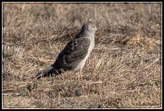Northern Harrier 9595 (maguire33@verizon.net) Tags: northernharrier sanjacintowildlifearea bird birdofprey harrier hawk wildlife nuevo california unitedstates us