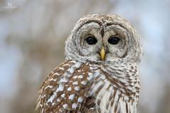 Chouette rayée - Barred owl - Strix varia (Maxime Legare-Vezina) Tags: bird oiseau nature wild wildlife owl fauna biodiversity animal ornithology winter hiver canon