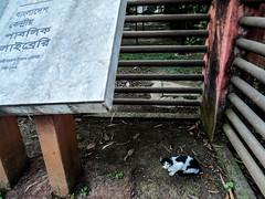 Dhaka Street #84 Guest of Public Library ( ) Tags: city dhaka dhakastreet999 bangladesh cat blackwhite color sony camera street ihavenocamera iampoor sultanmahmood manhmood manmade ukulele search find expore make it viral
