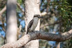 Kookaburra sits in the old gum tree (aaron.wiggan) Tags: november dawnroadreserve wildlife aaronwiggan panasonicfz1000 nature bird australiannative kookaburra 2016 albanycreek fauna queensland