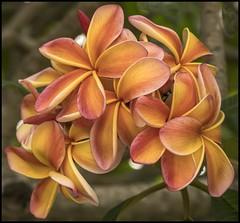 Apricot Frangipani-1= (Sheba_Also 11.6 Millon Views) Tags: apricot frangipani
