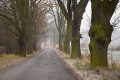 paths and roads (JoannaRB2009) Tags: weather autumn fall winter frost mist fog nature alley avenue path road oak oaks tree trees milicz dolnylsk air cloudy polska poland dolinabaryczy landscape view