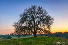Oak Knoll - Sacramento County, California (Tactile Photo | Greg Mitchell Photography) Tags: hike calm ranchomurieta rollinghills moon oaka star clouds clear happyplace peace tree cow cattleranch sacramento sunset greengrass oaktree private walk