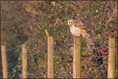 Short-eared Owl (image 2 of 3) (Full Moon Images) Tags: wildlife nature cambridgeshire fens east anglia bird prey birdofprey shorteared owl short eared fencepost fence post