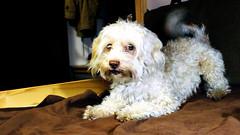 Warrior snowflake (Corina -) Tags: dog bichon fluffy bed fight buddy pet