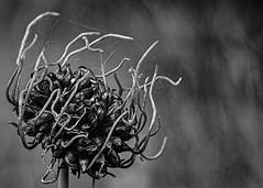 Alien Bud (docoverachiever) Tags: wildflower plant bud macro monochrome nature flower webs blackandwhite oregon tualatin