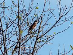 Dusky thrush (ツグミ) (Greg Peterson in Japan) Tags: shigaprefecture japan jpn moriyama otherbirds shiga fall rivers wildlife yasugawa birds season
