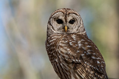 I can see for miles (NicoleW0000) Tags: barred owl wild wildlife photography nocturnal owls nature eyes owleyes