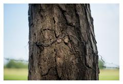 Tree and wire (leo.roos) Tags: trees tree bomen boom brabant chaam darosa a7s chaamsebeek meyerprimoplan5819 leoroos