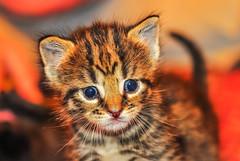 Young Tiger Kitten in 2012. (jlucierphoto) Tags: pet cats pets cute eye animal animals cat eyes furry nikon kitten feline tiger kittens fluff depthoffield meow curious cutest d5000
