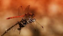 Dragonfly (Delbrücker) Tags: macro insect dragonfly makro libelle insekt nikkor105mm nikond610