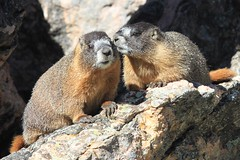 Smooching marmots (Seabird Stalker) Tags: colorado rockymountainnationalpark marmots