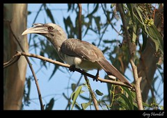 Indian Grey Hornbill (Mitesh S) Tags: india birds canon rebel grey indian pashan pune hornbill xsi 450d 55250mm
