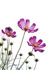 Painterly  (FujiFilm X10) (potopoto53age) Tags: pink flowers plant painterly flower apple japan tokyo aperture finepix pinkflower  fujifilm  fujinon cosmos  x10 showakinenpark   appleaperture superebc potopoto53age fujinonfujinon lenssuperebc21mm112mmf20f28 fujifilmfinepixx10 21mm112mm f20f28