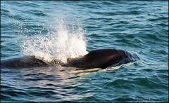 e DSC_3614 20150905 (Selena Rhodes Scofield Photography) Tags: ocean marine kpod whale orca sanjuanislands victoriabc killerwhales orcinusorca marinemammals blackfish salishsea southernresidentkillerwhales lpod selenarhodesscofieldphotography