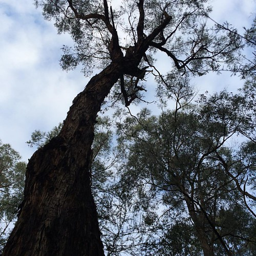 251/365 • when I look up • #251_2015 #housesitting #warburtonvalley #eucalyptus #thebends #goodmorning #Spring2015